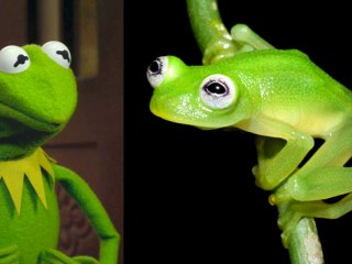 Kermit's Costa Rican Twin: You Can See the Likeness in the Eyes