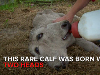 Meet Annabel: A Rare Two-Headed Calf