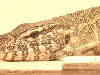 Large Lizard on the Loose in Tucson