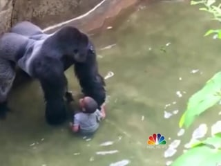 Cincinnati Zoo Kills 400-Pound Gorilla to Rescue Trapped Toddler