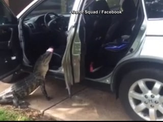 Watch as Trappers Coax Alligator from SUV