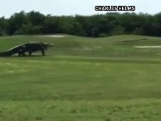 Giant Gator Spotted on Florida Golf Course