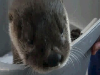 Baby River Otter Rescued