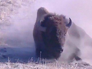 Bison Named America's First National Mammal