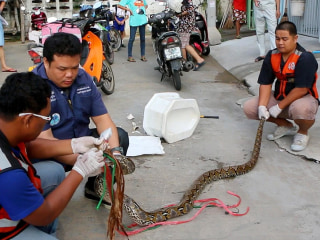 10-Foot Python Bites Man's Penis During Toilet Visit