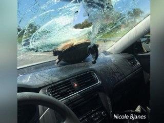 Flying Turtle Survives Windshield Crash