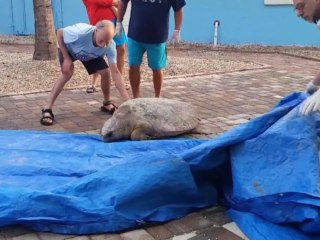 Lost Sea Turtle Gets Help From Beachgoers