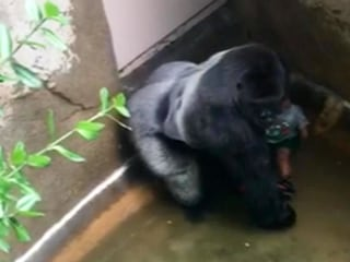 Gorilla shooting: Zoo director says he'd do it again to protect child