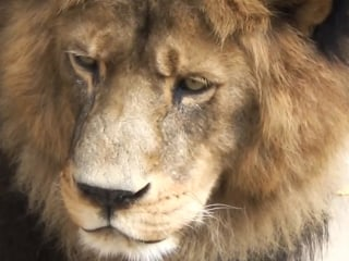 2 Lions Killed After Naked Man Enters Zoo Enclosure