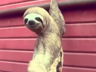 Endangered Sloth Wanders Into City