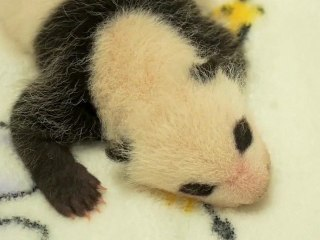 Adorable Giant Panda Twins Go on Show for First Time
