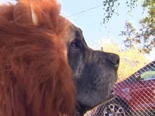 Lion Dog: Portland's 'Mane' Attraction?