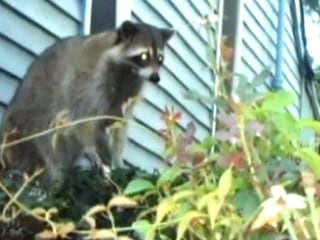 Den of Aggressive Raccoons Gets Evicted