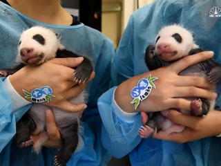 See Baby Panda Twins Opening Their Eyes