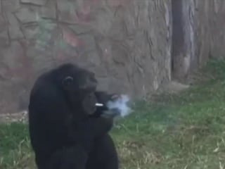 This chimp was trained to smoke on command, and PETA is outraged