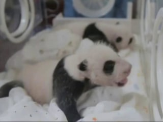 Twin Panda Cubs Reunited After Successful Experiment