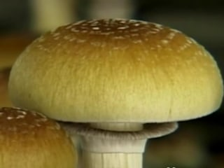 Hallucinogenic Mushrooms May be Beneficial for Cancer Patients