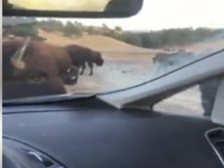 Caught on Camera: Car Becomes Tasty Treat for Bison