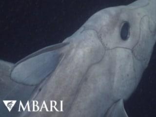 Cameras Capture Rare 'Ghost Shark'
