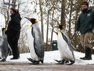 Zoos' Marching Penguins Treated to Winter Weather
