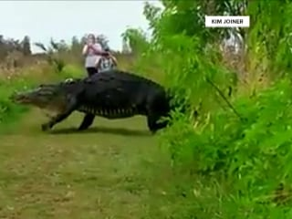 Meet the 14-foot Florida alligator that looks more like a dinosaur