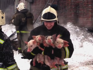 Oink! Piglets Rescued from Siberia Fire