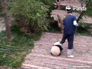 Adorable Panda Cub Vigorously Hugs Keepers Legs