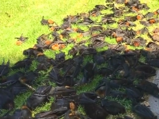 Heatwave Kills Off Thousands of Giant Bats in Australia