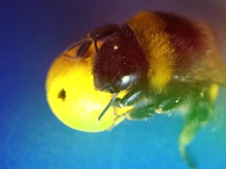 These Bumble Bees Are Basically Tiny Soccer Players