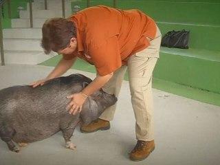 Meet This Bilingual Pot-Bellied Pig