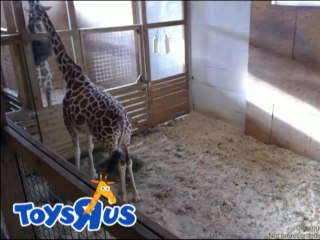 Is April the pregnant giraffe merely an April Fools' joke?