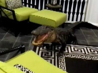 Massive Gator Breaks Into Family's Second-Story Porch