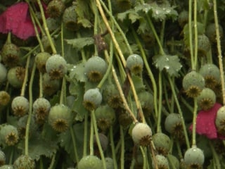 $500 Million Opium Poppy Field Discovered in North Carolina
