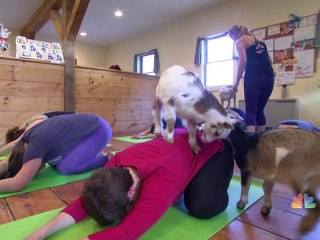 Goat Yoga? A Look at the Latest Fitness Craze
