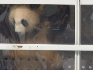 Berlin Welcomes Giant Pandas From China