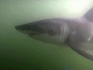 Great White Sharks Spotted in Historic Numbers in Southern California