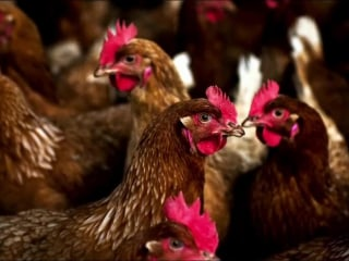 Are Backyard Chicken Coops Causing Salmonella Outbreaks?
