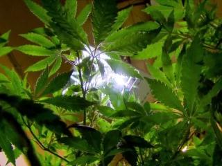 A new major for science-minded students: marijuana