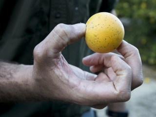 After Hurricane Irma, is Florida citrus as we know it gone?