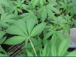 Legalization of recreational marijuana gaining support on 4/20