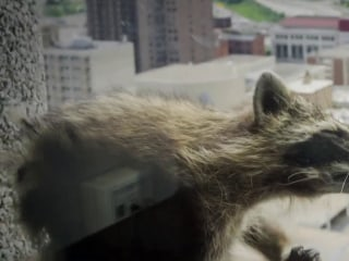 Raccoon scales Minnesota office tower capturing internet's attention