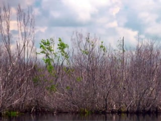 Hurricanes inflict long-lasting damage on mangroves, scientists say