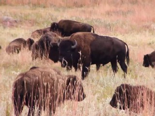 Meet the folks behind South Dakota's annual bison roundup