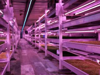 Underground eco-farm flourishes in London WWII bunker