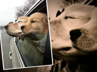 Blind golden retriever has his own four-legged 'seeing-eye' companion