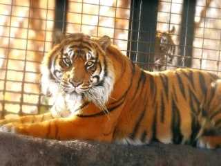 Topeka zoo director says keeper is recovering after tiger attack