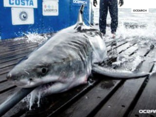 Great white shark spotted in Long Island Sound for 1st time ever