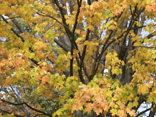 Why leaves change color: the science of fall foliage