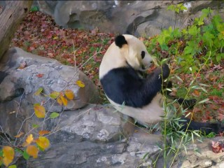 National Zoo says 'Bye Bye Bei Bei' as panda leaves for China