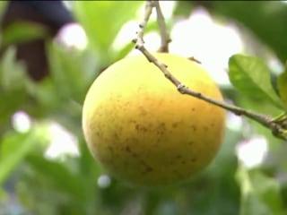 Disease killing Florida's orange trees and spiking juice prices
